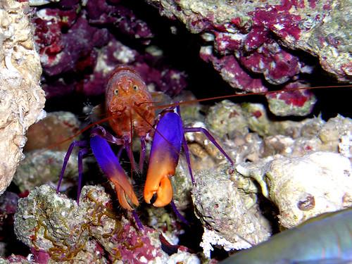 purple lobster * DSCN5366