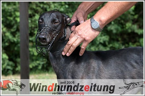 Greyhound aus Holland