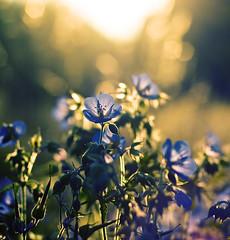 blink (~janne) Tags: leica flowers blue light summer berlin nature field evening licht sommer natur wiese blumen olympus juli blau schlosspark janne charlottenburg blüten abed janusz elmaritr e520blumen ziob