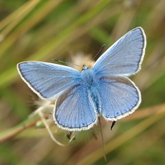 Common blue (Michiel Thomas) Tags: commonblue polyommatusicarus icarusblauwtje hauhechelbluling gemeinerbluling argusbleu