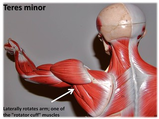 Teres minor - Muscles of the Upper Extremity Visual Atlas, page 44