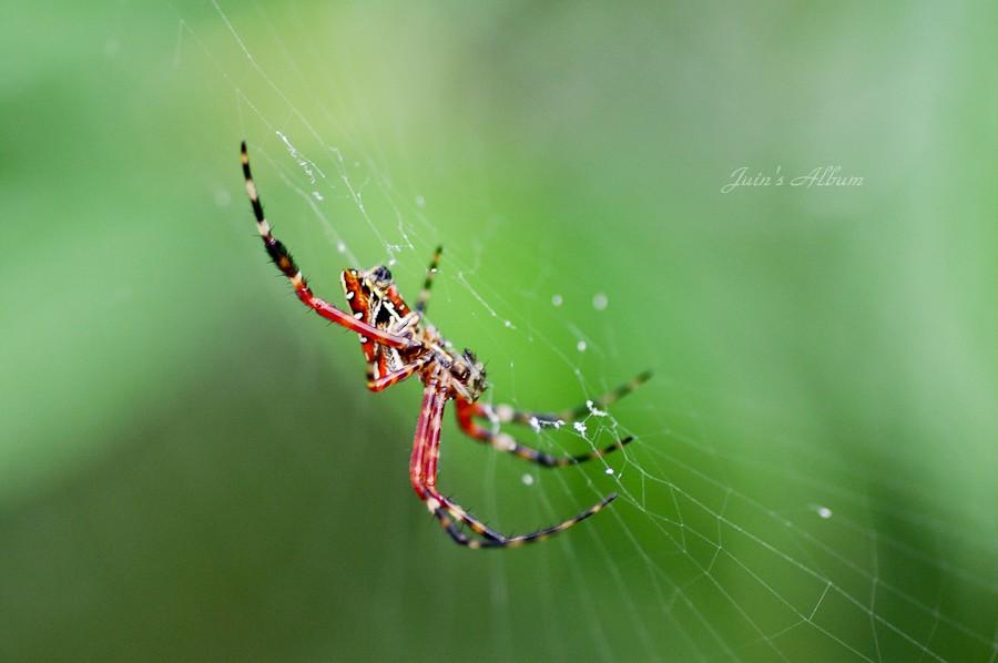 蜘蛛計較 二子坪 (8/1)