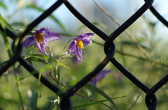 through the fence (Magda of Austin) Tags: flowers sunset summer austin 50mm texas purple delicate backlighting yellowstem pentaxk200d