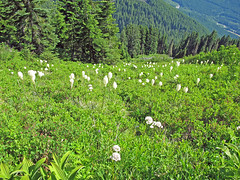 Bear Grass on Mt. Defiance Trail