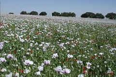 206.JPG (FAJM) Tags: espaa spain poppy poppies cuenca papaver amapolas amapola laroda casasdebenitez campodeamapolas