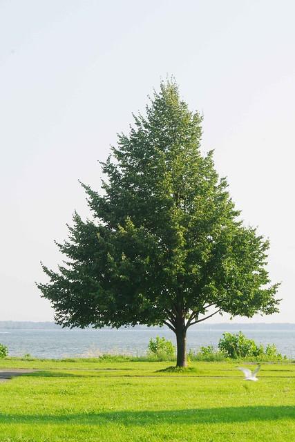 Lachine Tree