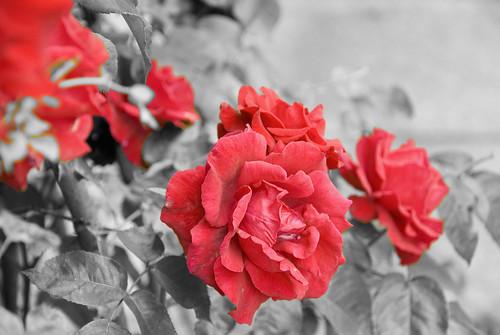 roses_black_white