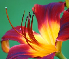 Colours That Bring Sunshine & Joy (bigbrowneyez) Tags: flower macro nature beautiful aqua lily stamen lovely littlegem yellowredgreen prettypetals colourcombination gllowing flickrglow coloursthatbringsunshinejoy