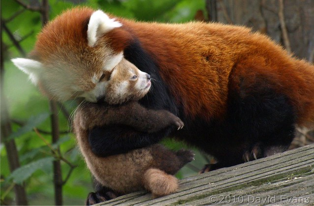 Chester Zoo - Baby Red Panda