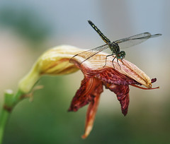 Daylily and Dragon (psycho_pixie) Tags: flower bug garden insect fly dragonfly explore daylily land acrobat kewl specanimal explore342