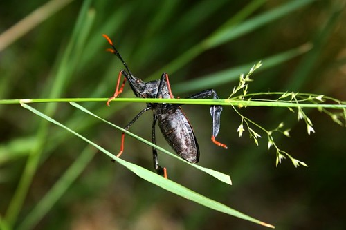 BlackRedLeafFooted Bug
