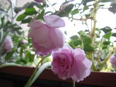 Califronia Rose