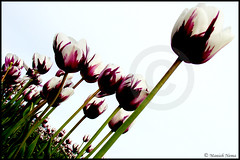 A Different Angle. (ManishN) Tags: white color green natural sony tulip h9