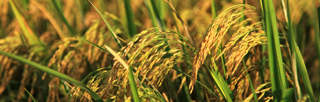稻田在唱歌