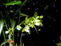 Encyclia tampensis f. albolabia (Mat.Tauriello) Tags: sardegna italy orchid garden mediterranean mediterraneo italia sardinia orchids orchidaceae botanic orchidee botanicalgardens botanicalgarden cagliari sardinien orchidshow cerdea casteddu sardenya karalis sardigna caralis orchidexposition sardinnia ditalia sardnnia orchidology ortobotanicodicagliari botanicalgardenofcagliari sardngia mostraorchidee orchidee orchidexpositioncagliari sardinianorchidsclub cagliariorchidexposition sardinianorchidexposition orchidofili orchidofilia orchidologia orchidophily orchidophiles mostraorchideeepiantecarnivore