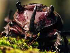 (Techuser) Tags: macro nature animal animals topv111 insect topv333 close topv222 rhinobeetle coleoptera torredepedra canons5is