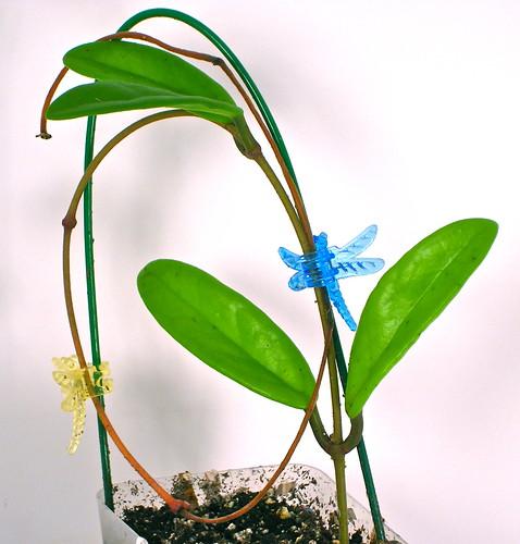Hoya sp. Kunming Kina