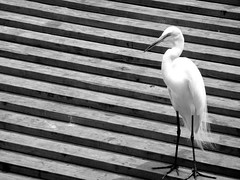 Steps (Tasmin_Bahia) Tags: wood usa white holiday black bird eye contrast america wooden orlando florida steps beak feathers fragile gaterland