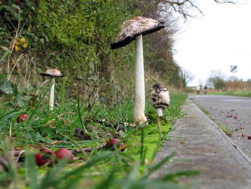 roadside_fungi
