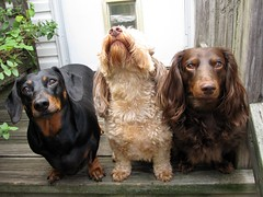 One Of These Dogs Is Not Like The Other (Tobyotter) Tags: dog pet frank hound canine perro hund link wienerdog dackel teckel k9 jimmydean doxie sausagedog aplaceforportraits pointyfaceddog