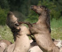 an poelruiter 06-08-2010 053 (annetje2009) Tags: horses nature natuur augustus paarden oostvaardersplassen naturesfinest konikhorses konikpaarden