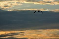 Alas (Irene Ruscalleda) Tags: sunset cloud sun bird sol clouds landscape atardecer wings paisaje ave alas nubes gaviota nube pájaro