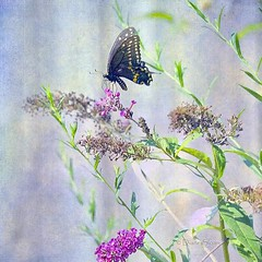 """Slim pickings""...  says this butterfly! (DigiDi) Tags: texture photomanipulation butterfly backyard blueribbonwinner artdigital bej digidi photoartistry simplysuperb theawardtree watercolortexture"