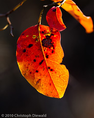 Colored Leaves II (chris.diewald) Tags: red orange geotagged leaf laranja vermelho translucent cerrado jardimbotnicobrasilia geo:lat=1588042988608926 geo:lon=4783399828137545