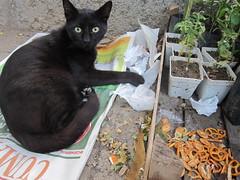 turkish kitties - omg kitty