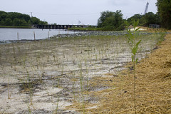 100804-A-5177B-002 (norfolkdistrict) Tags: environmental planning chesapeake erp armycorpsofengineers elizabethriver civilworks completedproject wetlandsrestoration saltmarshcordgrass scuffletowncreek