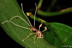Wasp with fruiting Cordyceps (asnyder5) Tags: life wild latinamerica nature ecology animals fruit america dead death nikon rainforest wasp wildlife conservation honduras science research jungle fungus latin tropical cloudforest operation biology bodies spore centralamerica biodiversity hymenoptera fruiting cusuco fruitingbodies ascomycete cordyceps wallacea operationwallacea opwall endoparasite montanecloudforest andrewsnyder cusuconationalpark asnyder5 andrewmsnyder