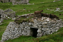 St Kilda - Cleit with Soay Sheep ontop