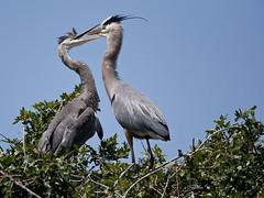 Blue Herons (Lanaa1) Tags: nature canon florida wildlife creative feathers moment blueherons specanimal venicerookery creativemoment
