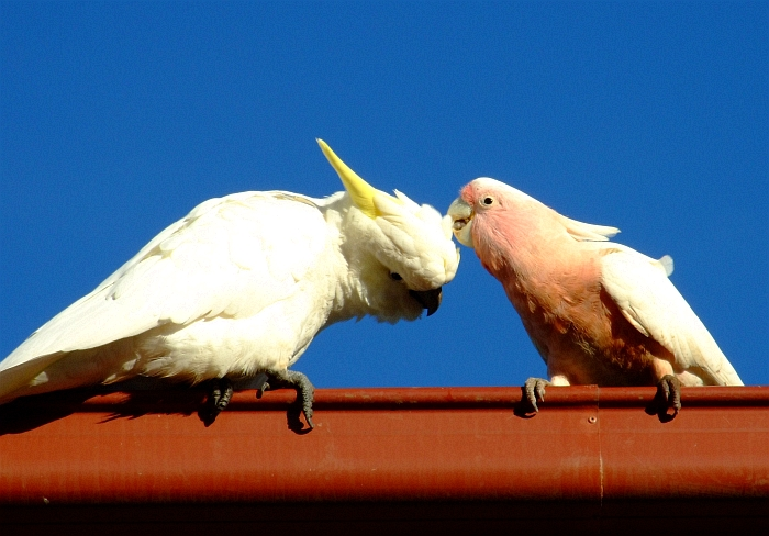 cute cockatoos