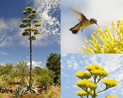 Once per 100 Years - Century Plant - with flowers in bloom (NikonKnight) Tags: flower hummingbird near agave zionnp 100years agaveamericana centuryagave onceperlifetime