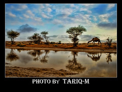 Camel HDR (TARIQ-M) Tags: sky cloud reflection tree water landscape desert camel saudiarabia hdr potofgold canonefs1855        canon400d   sailsevenseas