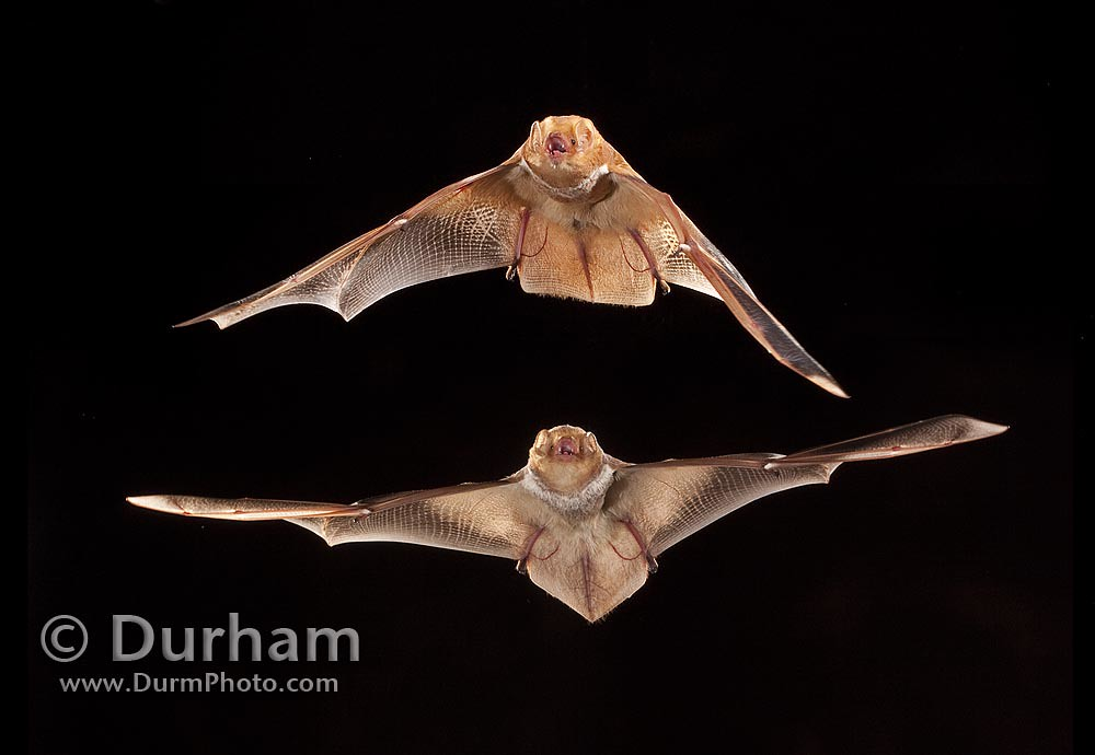 male and female eastern red bat