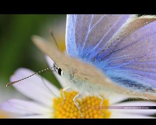 Blue Butterfly 0627