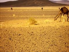 (dancypants) Tags: sahara desert camel morocco 2010