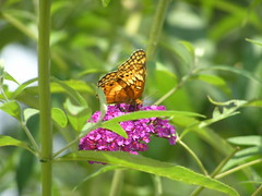 Variegated Fritillary Butterfly 3 (78spacecadet) Tags: butterfly variegated fritillary