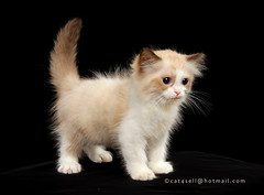 Ragdoll kitten   (Lucky Cat Cattery) Tags: blue cats white eye beautiful wonderful point happy nice kitten sad sweet great seal himalaya capture bicolor