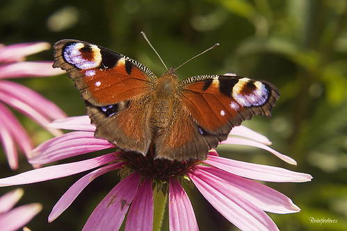 Peacock Butterfly - Dagpauwoog