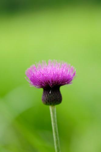 [フリー画像] 花・植物, キク科, アザミ, 201008210700