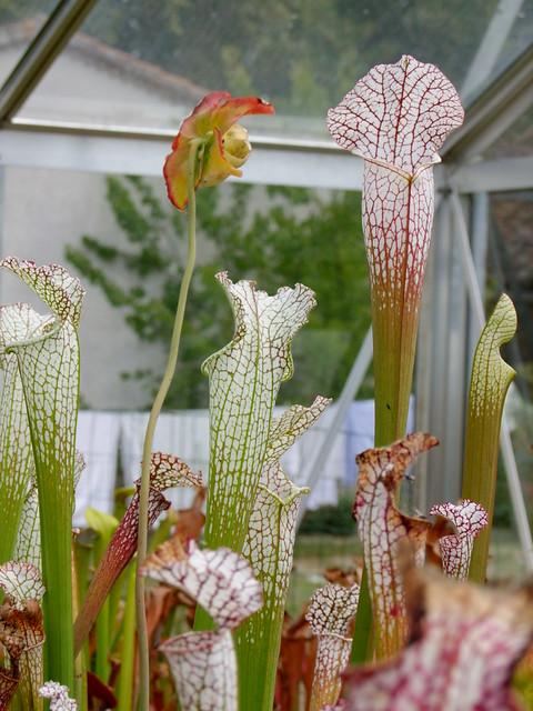 Quelques leucophylla... 4906721423_17945031f6_z