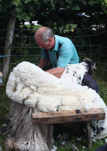Sheep shearing 3
