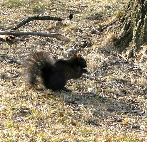 black squirrel February 2010