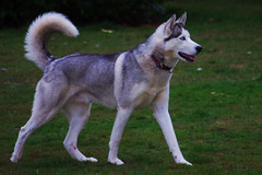 Cody (stmoritz1960) Tags: dogs animals playground husky hampshire pack newforest ibsley stmoritz1960 purechaos2calm nataliefinch