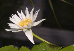 Water lily (HelenCE) Tags: flowers nature texas canoneos20d waterlillies dallasarboretum waterlilly waterflowers