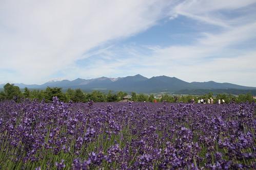 富良野_富田農場