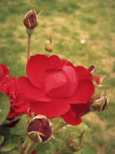 la Rose Rouge...